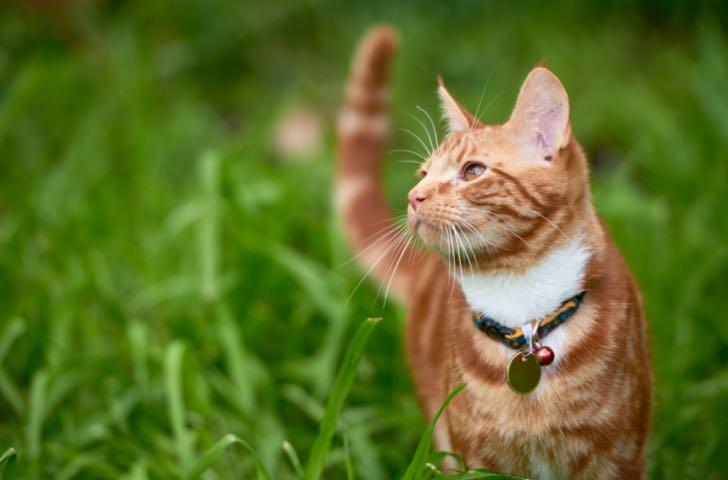 Harnais, colliers et laisses chat